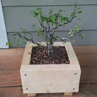 Burning bush pre-bonsai