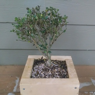 Japanese holly pre-bonsai