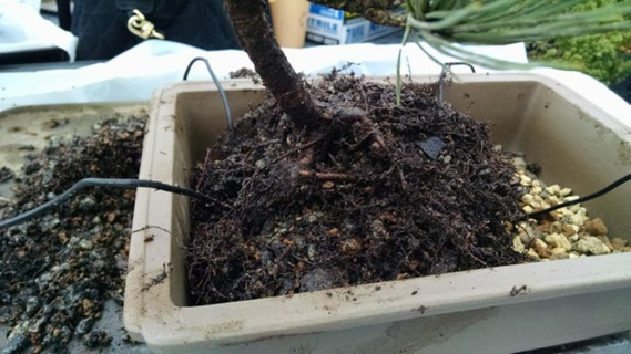 Tree's root ball in pot