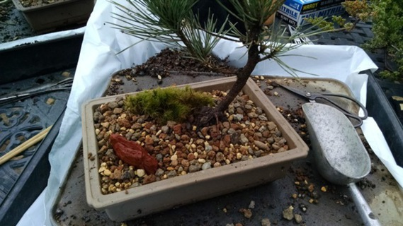 Tree potted with soil, moss, and accent rock