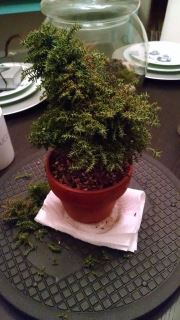 Cryptomeria bonsai before trimming