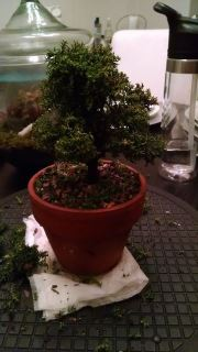Crytpomeria bonsai during trimming