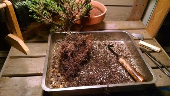 Raking out juniper bonsai roots