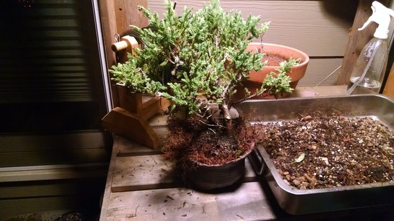 Juniper bonsai that is too big for its intended pot