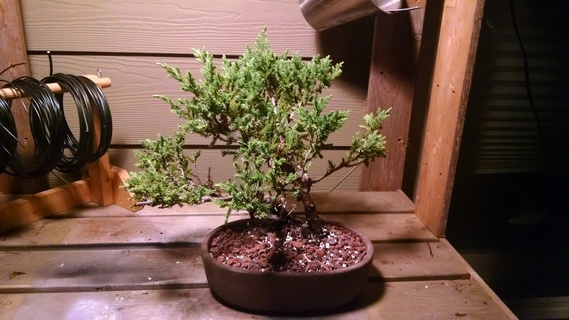 Juniper bonsai in pot