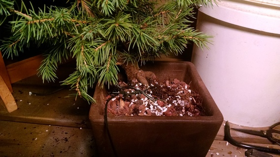 Colorado blue spruce bonsai being wired into its pot
