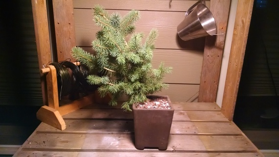 Colorado blue spruce bonsai in pot