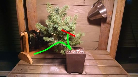 Colorado blue spruce semi-cascade bonsai design
